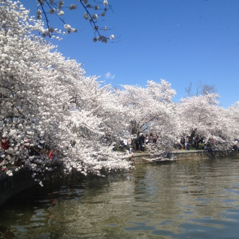Cherry blossoms along the Tidal Basin